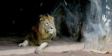 Lion at Dehiwala Zoo contracts Covid - NewsIn.Asia